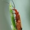 Skėtinis minkštavabalis - Rhagonycha fulva | Fotografijos autorius : Vidas Brazauskas | © Macrogamta.lt | Šis tinklapis priklauso bendruomenei kuri domisi makro fotografija ir fotografuoja gyvąjį makro pasaulį.