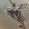 Skaidriasparnis šeriasprindis - Lycia pomonaria | Fotografijos autorius : Gintautas Steiblys | © Macrogamta.lt | Šis tinklapis priklauso bendruomenei kuri domisi makro fotografija ir fotografuoja gyvąjį makro pasaulį.
