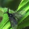 Skaidriasparnis maišuotis - Acanthopsyche atra ♂  | Fotografijos autorius : Gintautas Steiblys | © Macrogamta.lt | Šis tinklapis priklauso bendruomenei kuri domisi makro fotografija ir fotografuoja gyvąjį makro pasaulį.