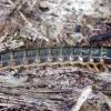 Skersadryžis spragšis - Harminius undulatus, lerva | Fotografijos autorius : Romas Ferenca | © Macrogamta.lt | Šis tinklapis priklauso bendruomenei kuri domisi makro fotografija ir fotografuoja gyvąjį makro pasaulį.