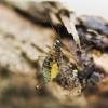 Skorpionmusė - Boreus westwoodi | Fotografijos autorius : Kazimieras Martinaitis | © Macrogamta.lt | Šis tinklapis priklauso bendruomenei kuri domisi makro fotografija ir fotografuoja gyvąjį makro pasaulį.