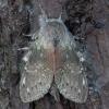 Skroblinė harpija - Stauropus fagi | Fotografijos autorius : Žilvinas Pūtys | © Macrogamta.lt | Šis tinklapis priklauso bendruomenei kuri domisi makro fotografija ir fotografuoja gyvąjį makro pasaulį.