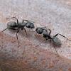 Skruzdėlė - Camponotus vaga | Fotografijos autorius : Gintautas Steiblys | © Macrogamta.lt | Šis tinklapis priklauso bendruomenei kuri domisi makro fotografija ir fotografuoja gyvąjį makro pasaulį.