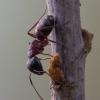 Skruzdėlė - Camponotus herculeanus | Fotografijos autorius : Žilvinas Pūtys | © Macrogamta.lt | Šis tinklapis priklauso bendruomenei kuri domisi makro fotografija ir fotografuoja gyvąjį makro pasaulį.