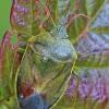 Dvispalvė skydblakė - Piezodorus lituratus | Fotografijos autorius : Gintautas Steiblys | © Macrogamta.lt | Šis tinklapis priklauso bendruomenei kuri domisi makro fotografija ir fotografuoja gyvąjį makro pasaulį.
