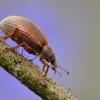Smailiablauzdis lapinukas - Polydrusus mollis | Fotografijos autorius : Arūnas Eismantas | © Macrogamta.lt | Šis tinklapis priklauso bendruomenei kuri domisi makro fotografija ir fotografuoja gyvąjį makro pasaulį.