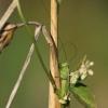 Smailiagalvis - Conocephalus fuscus | Fotografijos autorius : Agnė Našlėnienė | © Macrogamta.lt | Šis tinklapis priklauso bendruomenei kuri domisi makro fotografija ir fotografuoja gyvąjį makro pasaulį.