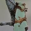 Smaragdinis smiltinukas - Staurophora celsia | Fotografijos autorius : Arūnas Eismantas | © Macrogamta.lt | Šis tinklapis priklauso bendruomenei kuri domisi makro fotografija ir fotografuoja gyvąjį makro pasaulį.