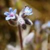 Smiltyninė neužmirštuolė - Myosotis stricta | Fotografijos autorius : Ramunė Vakarė | © Macrogamta.lt | Šis tinklapis priklauso bendruomenei kuri domisi makro fotografija ir fotografuoja gyvąjį makro pasaulį.
