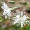 Smiltyninis gvazdikas - Dianthus arenarius | Fotografijos autorius : Kazimieras Martinaitis | © Macrogamta.lt | Šis tinklapis priklauso bendruomenei kuri domisi makro fotografija ir fotografuoja gyvąjį makro pasaulį.