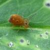 Sminthuridae - Rutuliškoji podūra ? | Fotografijos autorius : Vidas Brazauskas | © Macrogamta.lt | Šis tinklapis priklauso bendruomenei kuri domisi makro fotografija ir fotografuoja gyvąjį makro pasaulį.