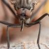 Snapmusė - Rhamphomyia spinipes ♀ | Fotografijos autorius : Žilvinas Pūtys | © Macrogamta.lt | Šis tinklapis priklauso bendruomenei kuri domisi makro fotografija ir fotografuoja gyvąjį makro pasaulį.
