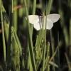 Sprindis - Geometridae | Fotografijos autorius : Vidas Brazauskas | © Macrogamta.lt | Šis tinklapis priklauso bendruomenei kuri domisi makro fotografija ir fotografuoja gyvąjį makro pasaulį.