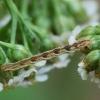 Sprindytis - Eupithecia sp., vikšras | Fotografijos autorius : Vidas Brazauskas | © Macrogamta.lt | Šis tinklapis priklauso bendruomenei kuri domisi makro fotografija ir fotografuoja gyvąjį makro pasaulį.