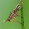 Sraigžudė - Limnia unguicornis | Fotografijos autorius : Žilvinas Pūtys | © Macrogamta.lt | Šis tinklapis priklauso bendruomenei kuri domisi makro fotografija ir fotografuoja gyvąjį makro pasaulį.