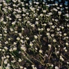 Standžialapė kurklė - Batrachium circinatum | Fotografijos autorius : Kęstutis Obelevičius | © Macrogamta.lt | Šis tinklapis priklauso bendruomenei kuri domisi makro fotografija ir fotografuoja gyvąjį makro pasaulį.