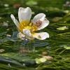 Standžialapė kurklė - Batrachium circinatum | Fotografijos autorius : Gintautas Steiblys | © Macrogamta.lt | Šis tinklapis priklauso bendruomenei kuri domisi makro fotografija ir fotografuoja gyvąjį makro pasaulį.