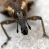 Straubliukas - Lepyrus palustris | Fotografijos autorius : Vitalii Alekseev | © Macrogamta.lt | Šis tinklapis priklauso bendruomenei kuri domisi makro fotografija ir fotografuoja gyvąjį makro pasaulį.