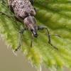Lapinukas - Polydrusus cervinus | Fotografijos autorius : Gintautas Steiblys | © Macrogamta.lt | Šis tinklapis priklauso bendruomenei kuri domisi makro fotografija ir fotografuoja gyvąjį makro pasaulį.