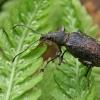 Lapinukas - Phyllobius circassicus ♀ | Fotografijos autorius : Gintautas Steiblys | © Macrogamta.lt | Šis tinklapis priklauso bendruomenei kuri domisi makro fotografija ir fotografuoja gyvąjį makro pasaulį.
