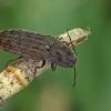 Strazdanotasis sprakšis - Actenicerus siaelandicus | Fotografijos autorius : Gintautas Steiblys | © Macrogamta.lt | Šis tinklapis priklauso bendruomenei kuri domisi makro fotografija ir fotografuoja gyvąjį makro pasaulį.