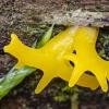 Tampriagrybis   Calocera furcata   Fotografijos autorius : Darius Baužys   © Macrogamta.lt   Šis tinklapis priklauso bendruomenei kuri domisi makro fotografija ir fotografuoja gyvąjį makro pasaulį.