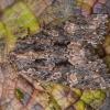 Tamsiarudis vėlyvis - Mniotype (=Blepharita) satura   Fotografijos autorius : Žilvinas Pūtys   © Macrogamta.lt   Šis tinklapis priklauso bendruomenei kuri domisi makro fotografija ir fotografuoja gyvąjį makro pasaulį.