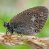 Tamsusis satyriukas - Coenonympha glycerion | Fotografijos autorius : Žilvinas Pūtys | © Macrogamta.lt | Šis tinklapis priklauso bendruomenei kuri domisi makro fotografija ir fotografuoja gyvąjį makro pasaulį.