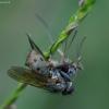 Tikramusė - Coenosia tigrina | Fotografijos autorius : Romas Ferenca | © Macrogamta.lt | Šis tinklapis priklauso bendruomenei kuri domisi makro fotografija ir fotografuoja gyvąjį makro pasaulį.