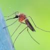 Tikrasis uodas - Aedes cf. cinereus | Fotografijos autorius : Gintautas Steiblys | © Macrogamta.lt | Šis tinklapis priklauso bendruomenei kuri domisi makro fotografija ir fotografuoja gyvąjį makro pasaulį.