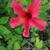 Tikroji kinrožė - Hibiscus rosa-sinensis | Fotografijos autorius : Gintautas Steiblys | © Macrogamta.lt | Šis tinklapis priklauso bendruomenei kuri domisi makro fotografija ir fotografuoja gyvąjį makro pasaulį.