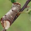 Tošinis kuoduotis - Phalera bucephala | Fotografijos autorius : Gintautas Steiblys | © Macrogamta.lt | Šis tinklapis priklauso bendruomenei kuri domisi makro fotografija ir fotografuoja gyvąjį makro pasaulį.