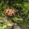 Trylikataškė boružė - Hippodamia tredecimpunctata | Fotografijos autorius : Kazimieras Martinaitis | © Macrogamta.lt | Šis tinklapis priklauso bendruomenei kuri domisi makro fotografija ir fotografuoja gyvąjį makro pasaulį.