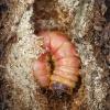 Tuopinis medgręžis - Acossus terebra, vikšras | Fotografijos autorius : Romas Ferenca | © Macrogamta.lt | Šis tinklapis priklauso bendruomenei kuri domisi makro fotografija ir fotografuoja gyvąjį makro pasaulį.