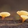 Uknolūnas - Hymenoscyphus sp.   Fotografijos autorius : Žilvinas Pūtys   © Macrogamta.lt   Šis tinklapis priklauso bendruomenei kuri domisi makro fotografija ir fotografuoja gyvąjį makro pasaulį.