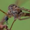 Uodas - Limonia nubeculosa ♀ | Fotografijos autorius : Žilvinas Pūtys | © Macrogamta.lt | Šis tinklapis priklauso bendruomenei kuri domisi makro fotografija ir fotografuoja gyvąjį makro pasaulį.