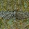 Uosinis sprindytis - Eupithecia innotata | Fotografijos autorius : Žilvinas Pūtys | © Macrogamta.lt | Šis tinklapis priklauso bendruomenei kuri domisi makro fotografija ir fotografuoja gyvąjį makro pasaulį.