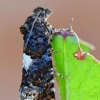Usninė epiblema - Epiblema cirsiana | Fotografijos autorius : Arūnas Eismantas | © Macrogamta.lt | Šis tinklapis priklauso bendruomenei kuri domisi makro fotografija ir fotografuoja gyvąjį makro pasaulį.