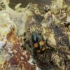 Žvilgvabalis - Glischrochilus grandis | Fotografijos autorius : Vidas Brazauskas | © Macrogamta.lt | Šis tinklapis priklauso bendruomenei kuri domisi makro fotografija ir fotografuoja gyvąjį makro pasaulį.