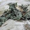Putlusis plynkežis - Hypogymnia physodes | Fotografijos autorius : Gintautas Steiblys | © Macrogamta.lt | Šis tinklapis priklauso bendruomenei kuri domisi makro fotografija ir fotografuoja gyvąjį makro pasaulį.