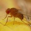 Vaisinė muselė - Drosophilidae | Fotografijos autorius : Vidas Brazauskas | © Macrogamta.lt | Šis tinklapis priklauso bendruomenei kuri domisi makro fotografija ir fotografuoja gyvąjį makro pasaulį.
