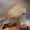 Valgomasis tampriukas - Strobilurus esculentus | Fotografijos autorius : Gintautas Steiblys | © Macrogamta.lt | Šis tinklapis priklauso bendruomenei kuri domisi makro fotografija ir fotografuoja gyvąjį makro pasaulį.