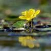 Vandeninė plaumuonė - Nymphoides peltata | Fotografijos autorius : Gediminas Gražulevičius | © Macrogamta.lt | Šis tinklapis priklauso bendruomenei kuri domisi makro fotografija ir fotografuoja gyvąjį makro pasaulį.