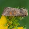 Vasarojinis stiebinukas - Amphipoea fucosa | Fotografijos autorius : Žilvinas Pūtys | © Macrogamta.lt | Šis tinklapis priklauso bendruomenei kuri domisi makro fotografija ir fotografuoja gyvąjį makro pasaulį.