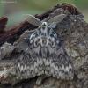 Vienuolis verpikas - Lymantria monacha ♂ | Fotografijos autorius : Žilvinas Pūtys | © Macrogamta.lt | Šis tinklapis priklauso bendruomenei kuri domisi makro fotografija ir fotografuoja gyvąjį makro pasaulį.