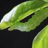 Žaliojo žvilgūno - Diachrysia chrysitis vikšras ?? | Fotografijos autorius : Gintautas Steiblys | © Macrogamta.lt | Šis tinklapis priklauso bendruomenei kuri domisi makro fotografija ir fotografuoja gyvąjį makro pasaulį.