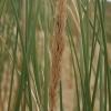 Pajūrinės smiltlendrės - Ammophila arenaria | Fotografijos autorius : Gintautas Steiblys | © Macrogamta.lt | Šis tinklapis priklauso bendruomenei kuri domisi makro fotografija ir fotografuoja gyvąjį makro pasaulį.