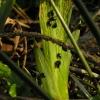 Vilkdalginė spragtukė - Aphthona nonstriata | Fotografijos autorius : Vytautas Tamutis | © Macrogamta.lt | Šis tinklapis priklauso bendruomenei kuri domisi makro fotografija ir fotografuoja gyvąjį makro pasaulį.