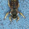 Vilnabitė - Anthidium manicatum | Fotografijos autorius : Gintautas Steiblys | © Macrogamta.lt | Šis tinklapis priklauso bendruomenei kuri domisi makro fotografija ir fotografuoja gyvąjį makro pasaulį.