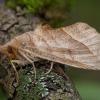 Vingirinis žieminukas - Calyptra thalictri | Fotografijos autorius : Žilvinas Pūtys | © Macrogamta.lt | Šis tinklapis priklauso bendruomenei kuri domisi makro fotografija ir fotografuoja gyvąjį makro pasaulį.